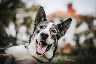 Barth chien loup